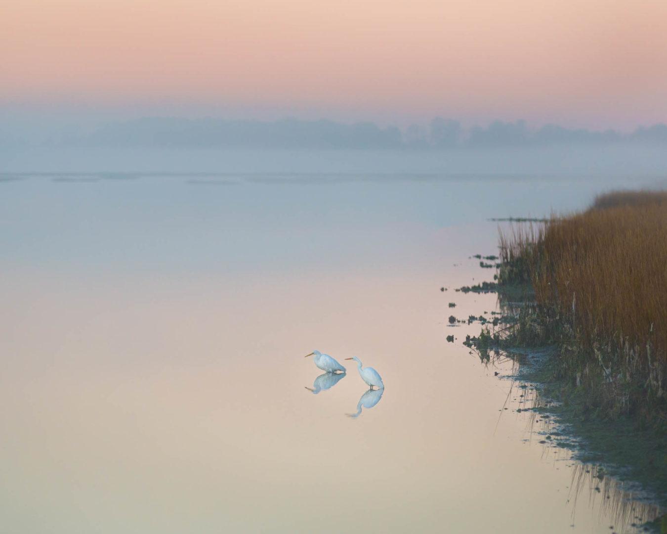 White Egrets, Chincoteague